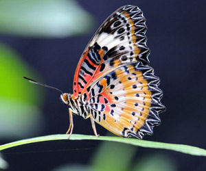 The Lacewing Butterfly is one of Southeast Asia's most beautiful insects (public domain).